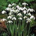 Galanthus Nivalis Bulbs 15/pack