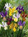 Dutch Iris Bulbs, Mixed---Perfect for Fall Planting! (50)