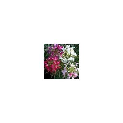 50+ Cleome Queen Mix Flower Seeds / Reseeding Annual : Flowering Plants : Garden & Outdoor