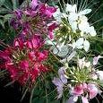 Flower Seeds / Reseeding Annual ()