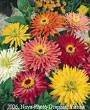 300 Burpeeana Giant Mix CACTUS FLOWERED ZINNIA Elegans Flower Seeds