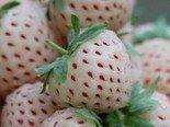 Winterharte Ananas-Erdbeere 20++ Samen **Super Süß**