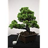 15 Seeds Juniperus Chinensis (Chinese Juniper) Bonsai