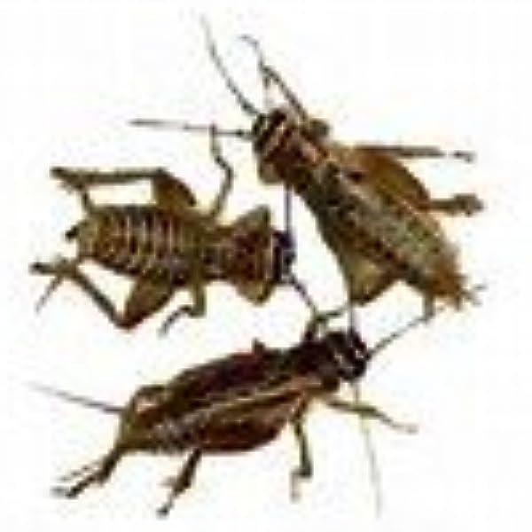 """8029r Crickets to Lira with Screw Spigot 22 1/"""""""