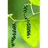 12 Seeds Piper Nigrum (Pepper Plant)