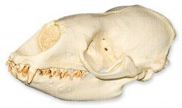 Crabeater Seal - Crabeater Seal Skull (Teaching Quality Replica)