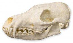 Red Fox Skull (Teaching Quality Replica)