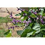 Hyacinth Bean, Vine Purple, Great for Trellis, Drought Tolerant~100 Seeds