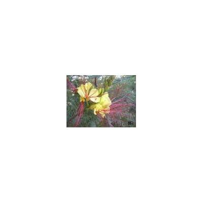 5 Yellow Mexican DESERT BIRD OF PARADISE Caesalpinia Gilliesii Bush Flower Seeds : Flowering Plants : Garden & Outdoor
