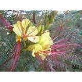 5 Yellow Mexican DESERT BIRD OF PARADISE Caesalpinia Gilliesii Bush Flower Seeds