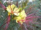 5 Yellow Mexican DESERT BIRD OF PARADISE Caesalpinia Gilliesii Bush Flower ()