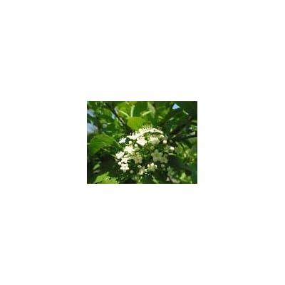 Toyensnow - Viburnum sieboldii SIEBOLD Viburnum Shrub (10 Seeds) : Garden & Outdoor