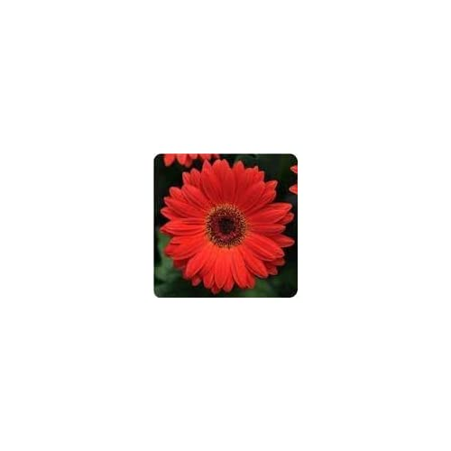 """(AGERR)~""""REVOLUTION SCARLET RED"""" GERBERA DAISY~Seed!!~WOW! supplier"""