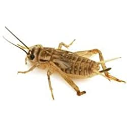 "1000 Live crickets (Large) 3/4"" (Origianal Brown) ""acheta domesticus"""