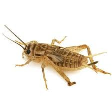 1000 Live crickets (Large) 3/4'' (Origianal Brown) ''acheta domesticus'' by acheta donesticus