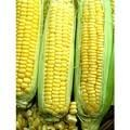 - The Dirty Gardener Reid Yellow Dent Corn Seeds - 5 Pounds