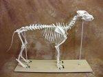 """Dog Skeleton Large Size: 49"""" X 23"""" Bosley Dog"""