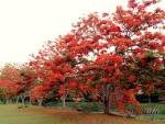 10 Royal Poinciana or Flamboyant Heirloom Seeds