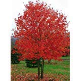 (Acer rubrum RED SUNSET RED MAPLE TREE Seeds!)