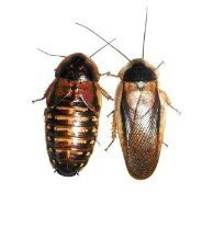 adult-dubia-roaches-10-females-5-males