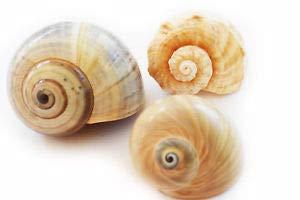 KARPP (3) Large Hermit Crab Shells Assorted Natural Seashells 2-3