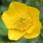 50 Bulbous BUTTERCUP / RANUNCULUS Yellow Flower SeedsComb S/H by Seedville offers