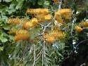 Grevillea robusta AUSTRALIAN SILKY OAK Seeds!