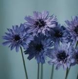 catananche-caerulea-amor-blue-50-seeds