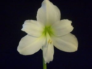 1 Amaryllis Bulb Christmas Gift Hippeastrum ready for immediate shipment. (Gifts Bulbs Amaryllis)