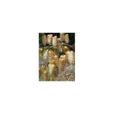 Briza Maxima Rattlesnake Grass Seeds! : Garden & Outdoor
