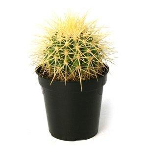 Echinocactus grusonii Golden Barrel Cactus (Plant Barrel Cactus)