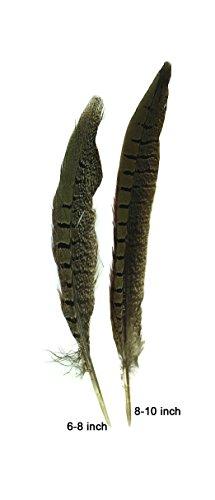 Ringneck Tail - Ringneck Pheasant Tail (8