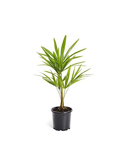 (Windmill Palm Tree - Trachycarpus fortunei)