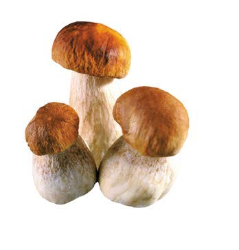Porcini Cep White Mushroom King Penny bun (Boletus Edulis) Mycelium Dried Seeds Spawn Porcini Mushroom Spores (0.5 oz / 14 g) by Don Porcini