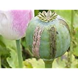 1 OUNCE OPIUM POPPY SEEDS - Papaver Somniferum L - High Alkaloid Variety, High Germination Rate