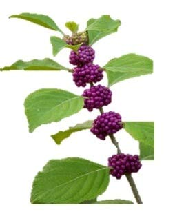 Gallon Potted Plant - American Beautyberry - Berry - Purple - Fruit -Live Shrub - Plant - Trade Gallon Potted - 1 Plant by Growers Solution