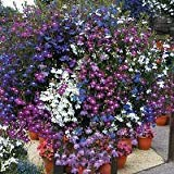 50+ Trailing Mixed Lobelia Regatta Perennial Flower Seeds / Great for Hanging Baskets
