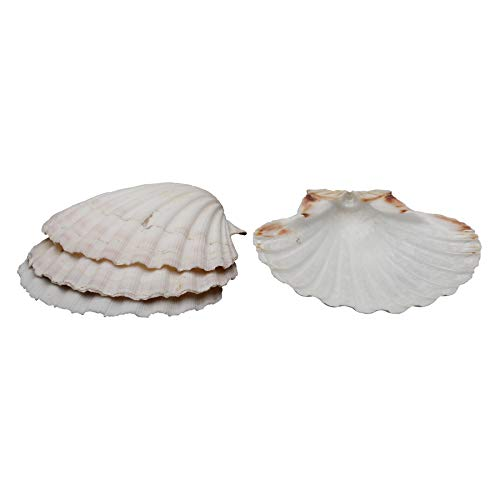 HIC Harold Import Co. 45679 Company Baking Shells (Set of 8), 4, Natural Seashell (Small Shell Scallop)