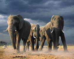 LAMINATED Steve Bloom African Elephants 20
