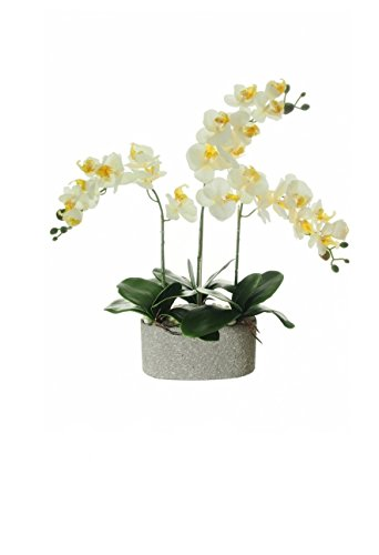 Everlasting Triple Moth Orchid Complete with Pot, Potted Orchid in 5 colours, Cream,Magenta, Pale Green, Pink, White by Homestreet® (MAGENTA)