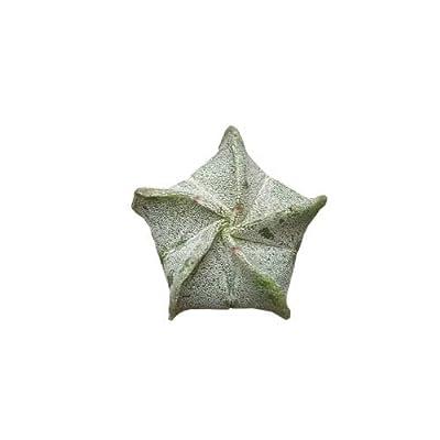 Succulent Bishop's Cap Cactus Astrophytum Myriostigma (4 inch Pot) : Garden & Outdoor