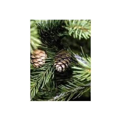 Picea Rubens: Red Spruce Seeds : Garden & Outdoor