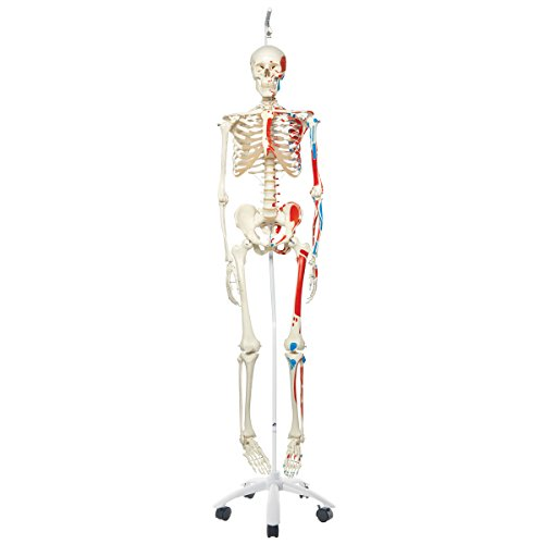 3B Scientific A11/1 Plastic Human Muscle Skeleton Model ''Max'', on Hanging 5 Foot Roller Stand, 73.2'' Height by 3B Scientific