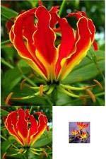 (Gloriosa Rothschildiana Flower Lily 1 Bulb Crimson RedYellow Climbing Lily New)
