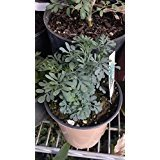 9EzTropical - Ruda Plant - Common Rue Herb of Grace - 2 Plants - 6'...