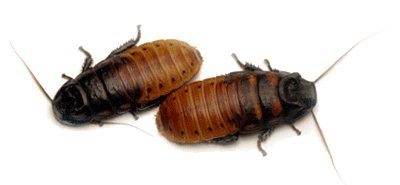 madagascar-hissing-roach-breeding-pair-price-includes-heat-pad-for-winter-shipping