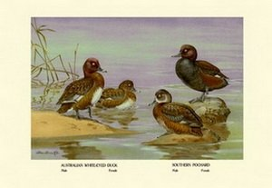 Australian White-Eyed and Southern Pochard Ducks 20x30 poster