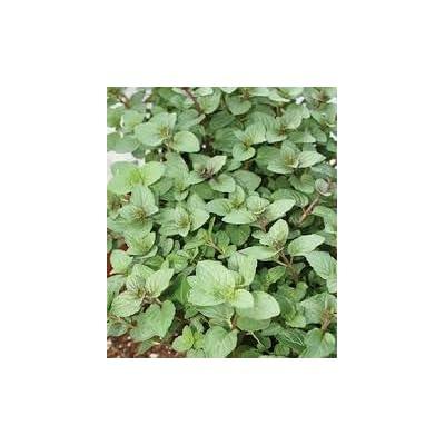 Peppermint, Mentha Piperta, Organic, 150 Seeds per Pack, GMO Free, Medicinal, Heirloom : Garden & Outdoor