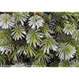 Picea Sitchensis Sitka Spruce Seeds Small White Stripped Needles ()