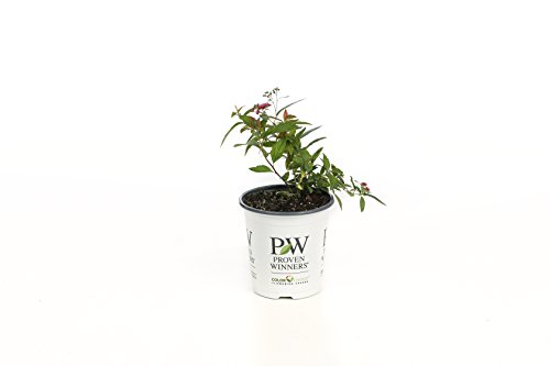 Double Play Painted Lady Spirea (Spiraea) Live Shrub, Pink Flowers and Variegated Foliage, 4.5 in. Quart (Spirea Shrubs)